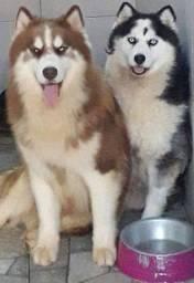 Husky siberiano com pedigree ,vacinados entregamos em sua casa