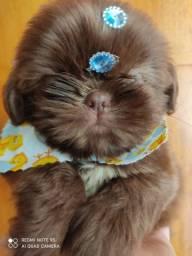 Linda filhote de shih Tzu fêmea chocolate disponível