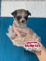 Chihuahua, a pronta entrega e com garantias totais em contrato