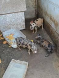 Mini Pig Mini Porcos Matrizes