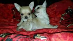 Chihuahua lindos filhotes disponíveis femea e macho