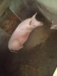 Vende-se porcos.