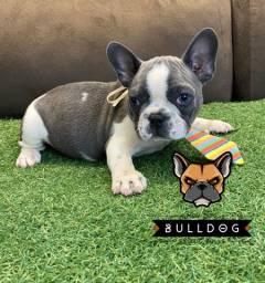 bulldog frances cinza macho