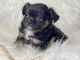 Perfeição em filhote de Chihuahua com pedigree