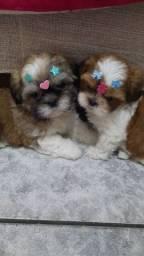 Lindos filhotes de shih tzu mini entrega imediata
