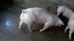 Vendo bacurin e porco de excelente qualidade