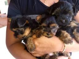 Vende-se filhotes de yorkshire terrier Mini