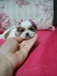 Linda filhote de Shih Tzu micro fêmea miniatura