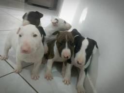 Bull terrier filhote