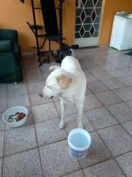 Doando uma cachorra Labradora
