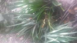 Mudas de abacaxi