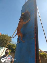 Vende-se American  Pit bull terrier tradicional