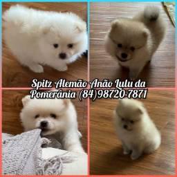 Filhotes de Spitz alemão anão Lulu da pomerânia com pedigree CBKC!