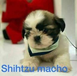 Shihtzu o melhor  presente de todos