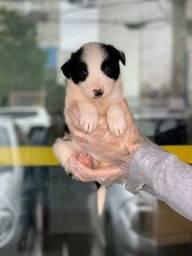 Linda Border Collie preta e branca com suporte veterinário e total garantia de saúde