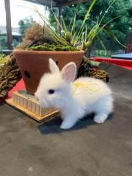 Filhotes de mini coelho
