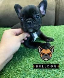 bulldog frances filhote femea