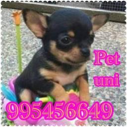 Título do anúncio: Pinscher  zero  famoso por ser mini