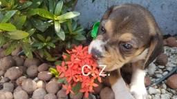 Beagle Padrão - pedigree