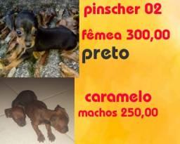 Pinscher 2