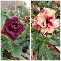 Rosa do deserto (Enxertos)