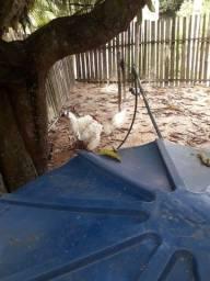 Vendo casal de peru e um ganso