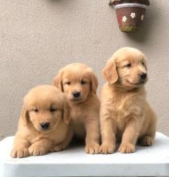 Filhotes Golden Retriever com pedigree