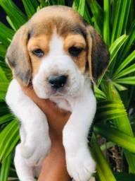 Beagle Filhote!13 Polegadas com Pedigree e Garantia de Saúde