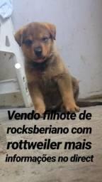 Filhote de Rocksberiano com Rottweiler