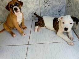 Filhotes de Boxer com Pitbull