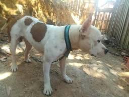 Pitbull top Ótimo Cão de Guarda