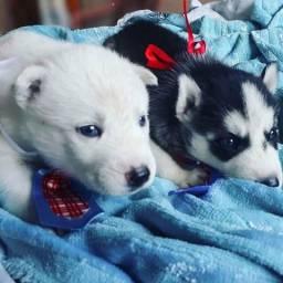 Filhotes de Husky Siberiano disponível para reserva!