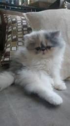 Gatinhos persas peludinhos -pgt cartao ate 12x
