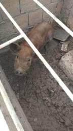 Vende se uma porca