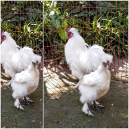 Casal de galinha japonês