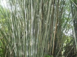 Compro moita de bambu cana da india