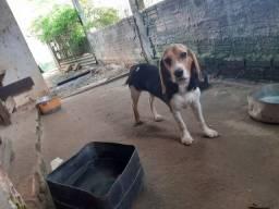 Beagle 6 meses