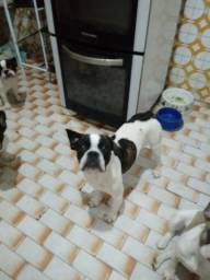 Título do anúncio: Bulldog francês .