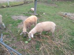 Casal de cordeiros carneiro/ovelha