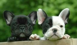 Título do anúncio: Filhotes de bulldog francês entrega imediata