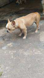 Bulldog francês grávida