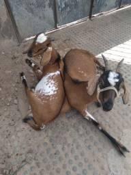 Uma cabra e um bode