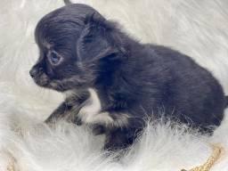 Belíssimo Chihuahua com Pedigree