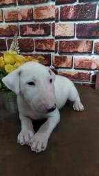 Título do anúncio: Bullterrier linda filhote branca
