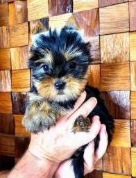 Título do anúncio: Lindas Bolinhas de Pelo Yorkshire Terrier