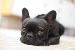 Bulldog francês filhotes disponível