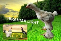 Brahma light 35 Dias