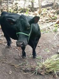 Vendo Mine vaca