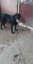 Labrador macho pra adoção