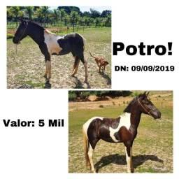 Potro